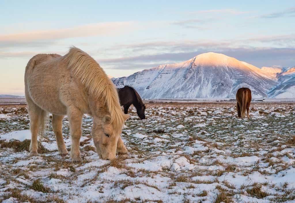 Izlandi lovak legelnek a havas mezőn