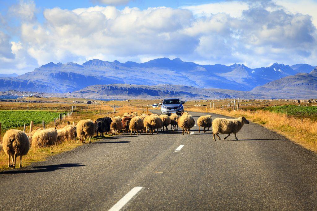 Birkák az úton augusztusban Izlandon